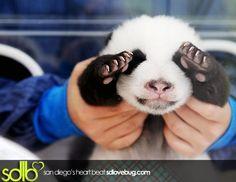 love pandas! so cute!