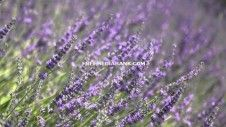 Blooming lavender. Free HD stock footage. http://www.freemediabank.com/blooming-lavender-free-hd-stock-footage/