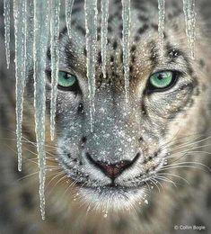Mongolian snow leopard