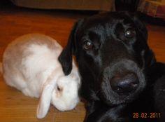 Lola Beivide #LabradorRetriever #veterinario www.veterinario.es