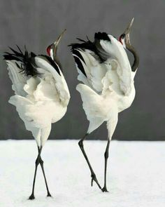 丹頂鶴 Red-Crowned Crane – Keep up with the times. Pretty Birds, Love Birds, Beautiful Birds, Animals Beautiful, Exotic Birds, Colorful Birds, Funny Bird, Animals And Pets, Cute Animals