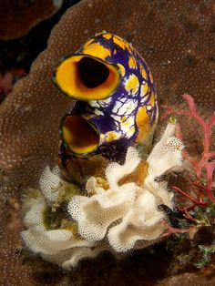 This purple-colored Sea-Squirt [ Polycarpa aurata ] sits in a bed of white bryozoa (Triphyllozoon inornatum). Underwater Creatures, Underwater Life, Ocean Creatures, What Is A Sea, Under The Sea Pictures, Beautiful Ocean, Stunningly Beautiful, Animal Facts, Deep Sea