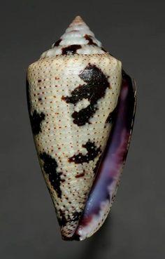 Tenorioconus curassaviensis  -  SCMSystems