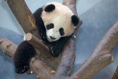 Zoo Atlanta Giant panda Po hanging out! Panda Cam, Panda Love, Atlanta Zoo, Hanging Out, Animals Beautiful, Reptiles, Bears, Georgia, Bucket