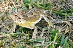 Texas Horned Lizard found in Canadian, TX on July 4, 2013.