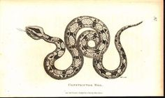 Constrictor Boa 1809 Original Antique Engraving Print by Shaw