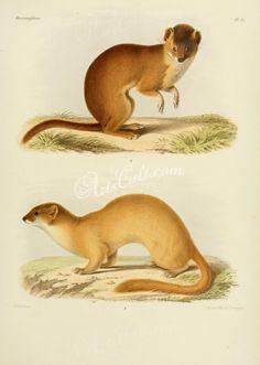 Siberian weasel (fontainerii), Mountain weasel      ...
