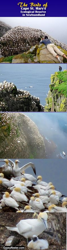 Bucket list item: Visit of the most spectacular nature preserves in the world - St. Mary's Bird Rock in Newfoundland!  http://www.gypsynester.com/newfoundland-birds.htm