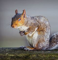 An image of a gray squirrel that was sleeping on a wooden railing but awoke with a fly on it's ear.