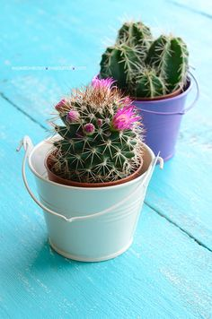 Baby cacti in pails.