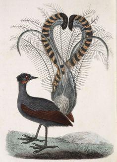 Image result for illustration 19th century lyrebird
