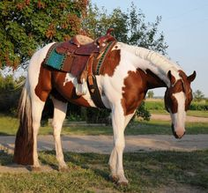 Chestnut Paint Horse Stallion