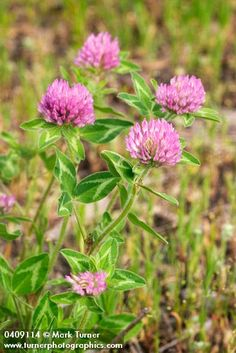 Trifolium pratense | red clover | Wildflowers of the Pacific Northwest