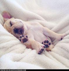 Sleepy Frenchie Puppy