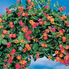 Lantana 'Summer Popsicle'-- Sun-loving trailing annual -- Smells like citrus! -- Loves the heat -- Blooms all summer and into fall -- Butterflies and Hummingbirds. (Jackson & Perkins)