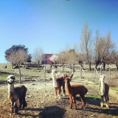 Alpaca on Mt. Amiata #maremma #tuscany #nature #natura