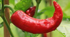 Die Aussaat und Anzucht von Paprika und Chilis ist nicht schwierig. Deswegen haben wir für Dich alles über die Aussaat von Paprika und Co. zusammengestellt.