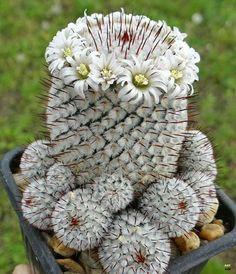 Mammillaria perezdelarosae andersoniana.
