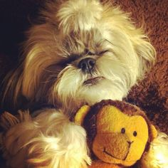 Shih Tzu // Looks just like my Mia :)