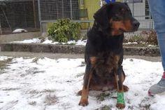 ATTILA   Type : Fox Terrier Sexe : Mâle Age : Adulte Couleur : noir et feu  Taille : Moyen Lieu : Haute-Savoie - 74 (Rhône-Alpes)  Refuge :  Refuge de l'espoir(Haute-Savoie)  Tél : 04.50.36.03.39