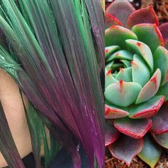 Succulent - process. By Aly.  Stay Tuned.  #haircolor #joicointensity #pravanavivids #pravanapastels #succulenthair #succulent #trendstarter #newtrend #hairinspo #modernsalon #behindthechair #guytang