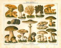 Edible Mushrooms  Antique Chromolithograph Home Decor by carambas, $22.00