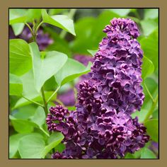 New Hampshire state flower - Lilac