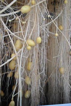 Aeroponic potatoes