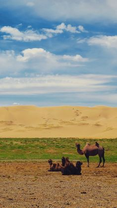 A herd of camels relaxing in front of the Khongoryn Els sand dunes in the Gobi Desert, Mongolia.