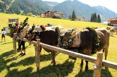 Die Kühe werden mit handgeflochtenen Blumenkränzen festlich geschmückt Foto: TVB Tannheimer Tal/ Michael Keller