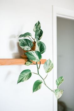 Pothos (Epipremnum aureum) is an easy houseplant to grow. This trailing vine with heart-shaped leaves tolerates low light and erratic watering. Outdoor Plants, Garden Plants, Indoor Garden, Pothos In Water, Pothos Plant, Pothos Vine, All About Plants, Easy Plants To Grow, Low Light Plants