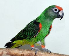 The Jardine's Parrot is one of my favorite species.  These medium to small parrots are incredibly affectionate.