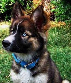 German Shepherd Husky