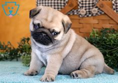 This is a Pug pup ready to jump into your arms and load you with puppy kisses. He is a social butterfly sure to turn heads everywhere you go. Teacup Pugs For Sale, Baby Pugs For Sale, Pug Puppies For Sale, Black Lab Puppies, Dogs For Sale, Baby Puppies, Teacup Puppies, Corgi Puppies, English Bulldog Puppies