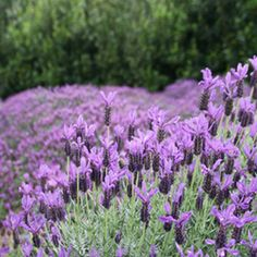 Lavandula stoechas Otto Quast, Spanish Lavender, driveway island garden