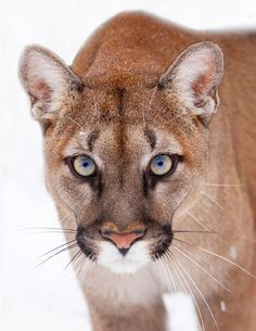 """""""The stare.or the glare."""" [This is the stunning *Viktoria,* a female Puma. As you can see Puma's have the most amazing facial structure and beautiful, piercing eyes. I Love Cats, Big Cats, Cool Cats, Cats And Kittens, Beautiful Cats, Animals Beautiful, Animals And Pets, Cute Animals, Wild Animals"""