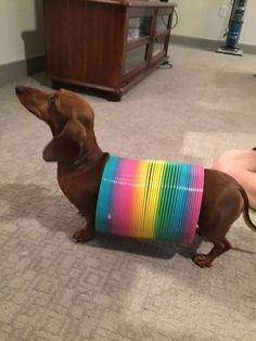 And very long. | 21 Reasons Why Dachshunds Are Gifts To The World