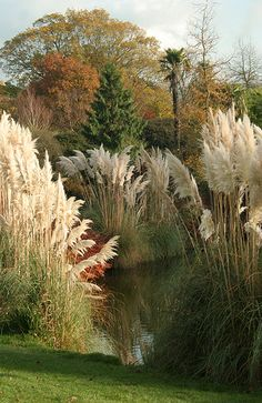 Cortaderia selloana (Pampasgras) bij vijver (Wakehurst Place, Sussex, UK)