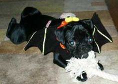 bat pug. Just thought of dressing Nikki up as a bat for Pug O Ween.
