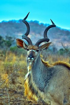 Greater kudu bull by Arno Meintjes Wildlife