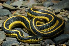 Diablo Range Gartersnake (Thamnophis atratus zaxanthus) is one of three known subspecies.They are found along the coast of Oregon and California, USA. Length between 46 and 102 cm,