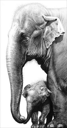 'Touching' a pencil drawing of Asian elephants. Published as a limited edition print in winter 2012... sold out.