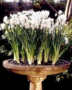 Birdbath with flowering spring bulbs