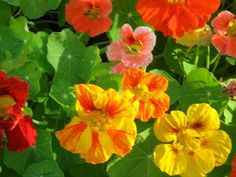"""Nastursiums ~ Wow! You sure get a lot of """"bang for your buck,"""" from March through June or July!"""