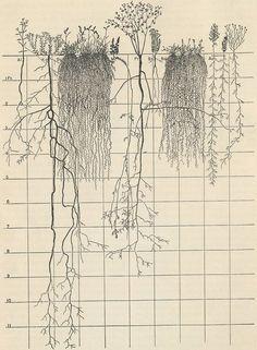 I love roots. Prairie Studies, John Earnest Weaver, University of Nebraska Botanical Drawings, Botanical Illustration, Botanical Prints, Science Illustration, Illustrations, Natural History, Science Nature, Art Inspo, Sketches