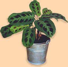 Maranta  (Dua Çiçeği) Bitkisi Bakımı ve Yetiştirilmesi Hakkında Bilgiler...