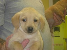 Meet AMALIA, a Petfinder adoptable Golden Retriever Dog | Summersville, WV | Amalia is a 8 week old female Golden Retriever mix. She is up to date on her vaccinations.