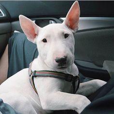 White Bull Terrier