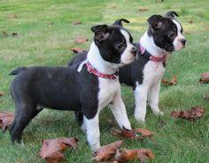 boston+terrier+puppies | Boston Terrier Puppy Pictures