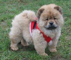 chow chow......omg! I just want to cuddle!